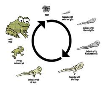 Life Cycle White Tree Frogs